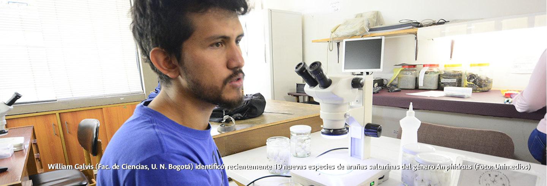 William Galvis (Fac. de Ciencias, U. N. Bogotá)             identificó recientemente 19 nuevas especies de arañas             saltarinas del género 'Amphidraus' (Foto: Unimedios)